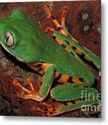Tiger-striped Monkey Frog Metal Print