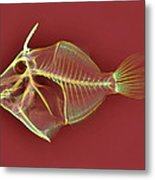 Triggerfish Skeleton, X-ray Metal Print