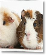 Two Guinea Pigs Metal Print