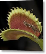Venus Flytraps As They Consume Insects Metal Print