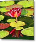 Water Lily Metal Print by Darren Fisher