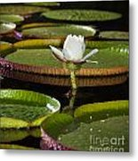 Water Lily Metal Print by Johan Larson