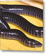 West African Caecilian Metal Print
