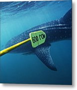 Whale Shark Being Tagged Metal Print