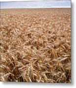 Wheat Metal Print