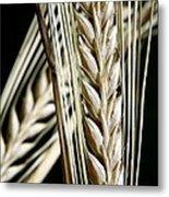 Wheat Ears (triticum Sp.) Metal Print