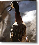 White Faced Whistling Duck Metal Print