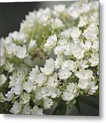 White Hydrangea Bloom Metal Print