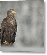White-tailed Eagle Metal Print