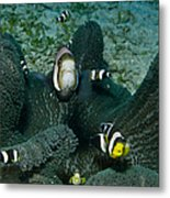 Whole Family Of Clownfish In Dark Grey Metal Print