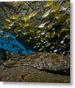 Wobbegong Shark And Cardinalfish, Byron Metal Print