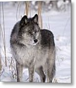 Wolf In The Snow Metal Print