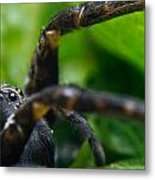 Wolf Spider And Babies 2 Metal Print