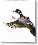 Wood Duck Metal Print by Mircea Costina Photography