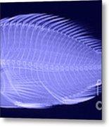 X-ray Of A Flame Hawkfish Metal Print