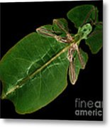 X-ray Of A Giant Leaf Insect Metal Print
