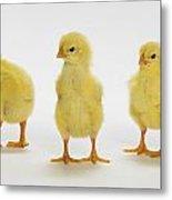 Yellow Chicks. Baby Chickens Metal Print by Thomas Kitchin & Victoria Hurst