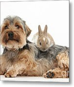 Yorkshire Terrier Dog And Baby Rabbit Metal Print