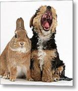 Yorkshire Terrier Pup With Rabbit Metal Print