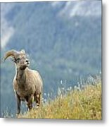 Young Bighorn Sheep, Windy Point Metal Print