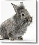 Young Silver Lionhead Rabbit Metal Print