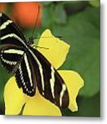 Zebra Longwing Metal Print