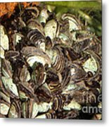 Zebra Mussels Dreissena Polymorpha Metal Print