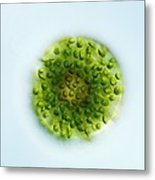 Green Alga, Light Micrograph Metal Print by Gerd Guenther