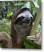 Brown-throated Three-toed Sloth Metal Print by Suzi Eszterhas