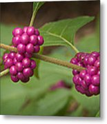1109-6879 American Beautyberry Or French Mulberry Metal Print by Randy Forrester