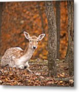 1111-7638 Fawn In Fall Metal Print