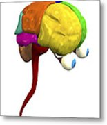 Brain Anatomy Metal Print