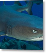 Whitetip Reef Shark, Kimbe Bay, Papua Metal Print