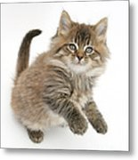 Maine Coon Kitten Metal Print
