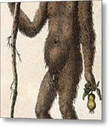 1795 Wild Man Of The Woods - Orangutan. Metal Print