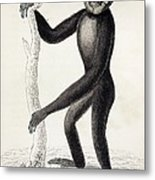 1833 Jardine Hylobates Hoolock Gibbon Metal Print
