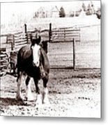 1900  Clydesdale Horse Metal Print