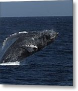 A Breaching Humpback Whale Metal Print
