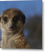 A Close View Of A Meerkat Suricata Metal Print