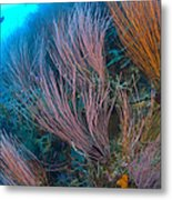 A Colony Of Red Whip Fan Corals Metal Print