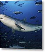 A Large 10 Foot Tiger Shark Swims Metal Print