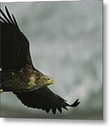 An Endangered White-tailed Sea Eagle Metal Print