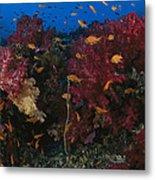 Anthias Fish Swim Near A Reef Wall Metal Print
