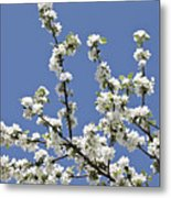 Apple Trees In Full Bloom Metal Print by Wilfried Krecichwost