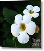 Bacopa Named Snowtopia Metal Print