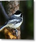 Blackcapped Chickadee Metal Print