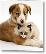 Border Collie And Birman-cross Kitten Metal Print