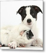 Border Collie Pup And Guinea Pig Metal Print