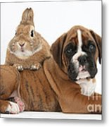 Boxer Puppy And Netherland-cross Rabbit Metal Print