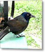 Brewers Black Bird Metal Print